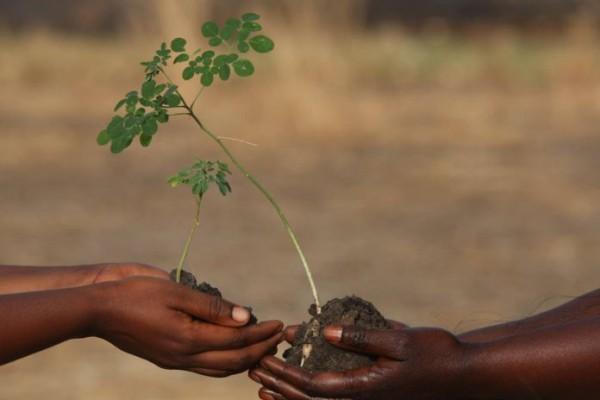 moringa, l'arbre de vie